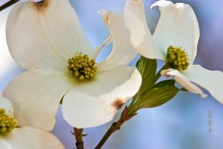 Dogwood blossom 1