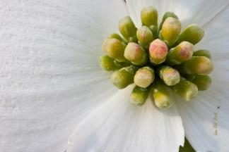 Dogwood blossom 3