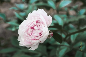 Peony in the Park